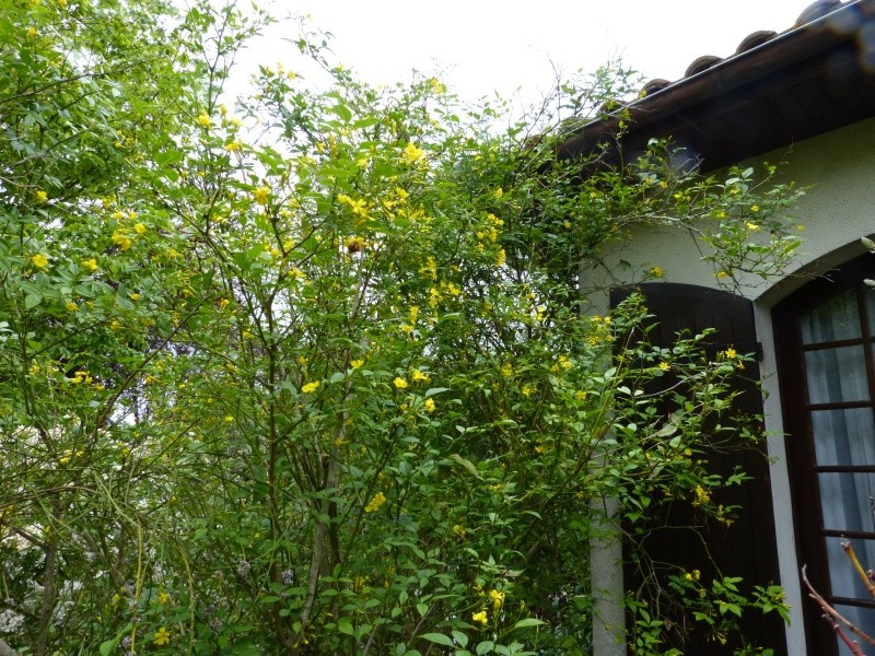 joli mois de mai, le jardin fait à son gré - Page 3 Jasmin10