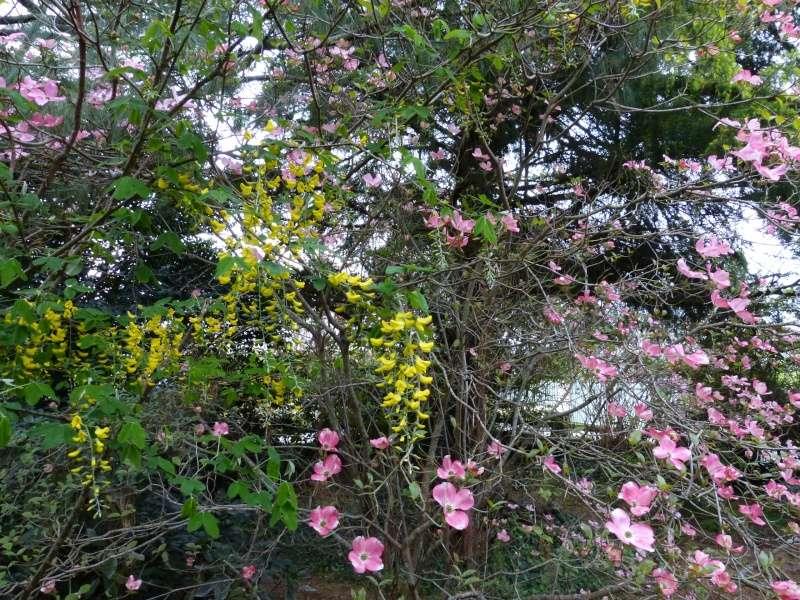 avril, jardin fébrile - Page 4 Laburn10