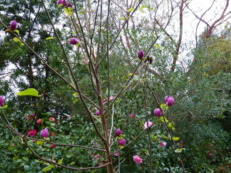 avril, jardin fébrile Magnol14