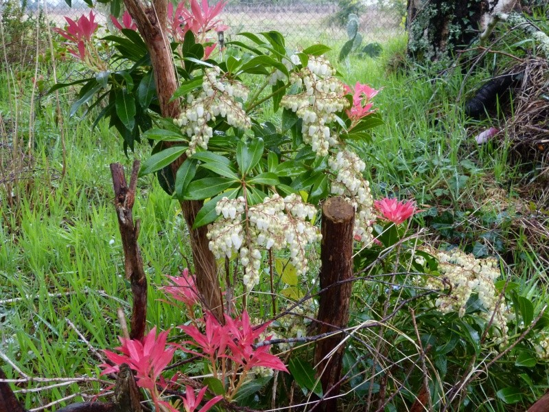 avril, jardin fébrile Pieris10