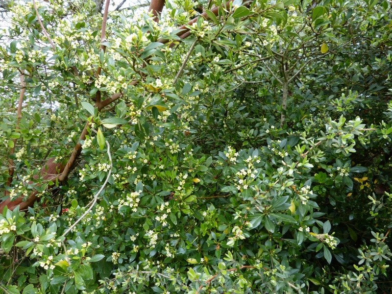 Pittosporum truncatum Pittos12