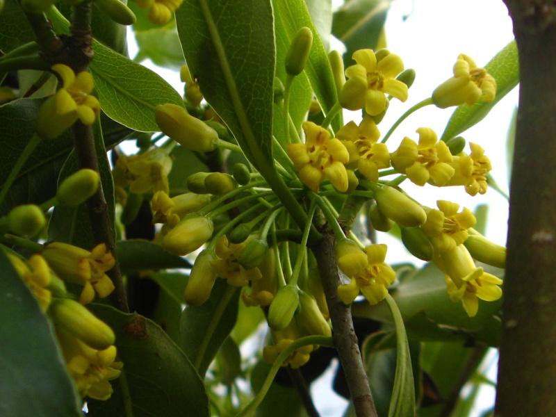 Pittosporum crispulum Pittos23