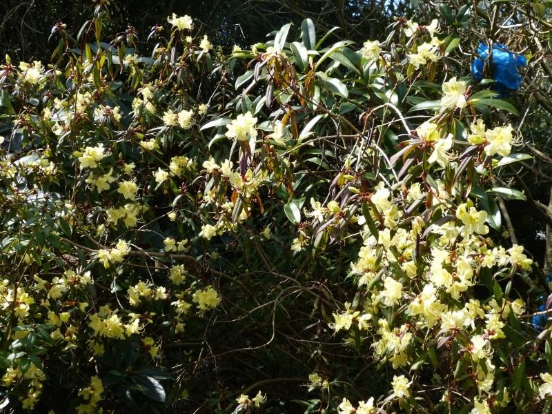 avril, jardin fébrile Rhodod13