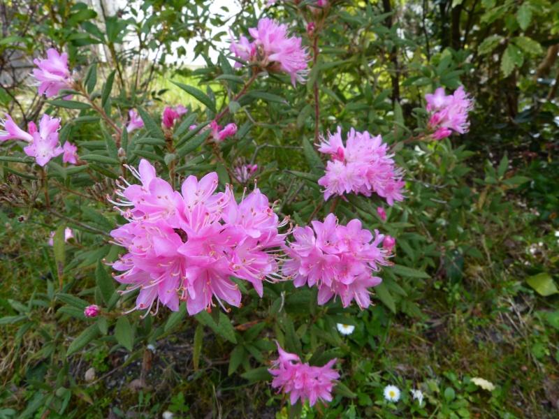 avril, jardin fébrile Rhodod14