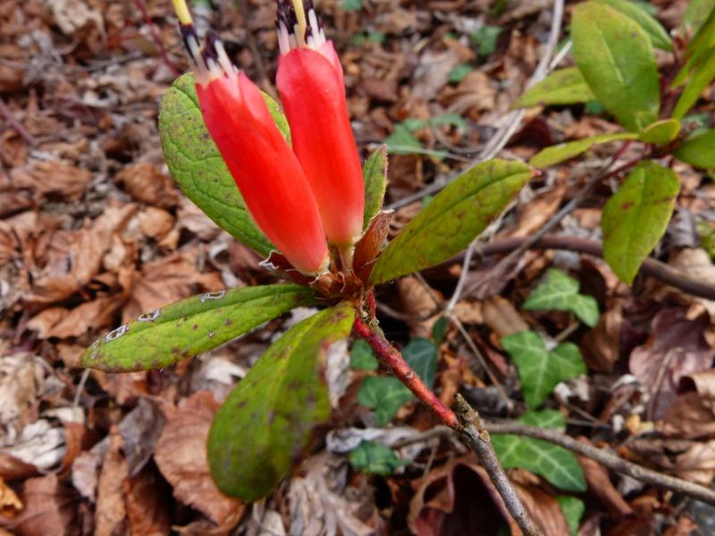 avril, jardin fébrile Rhodod15