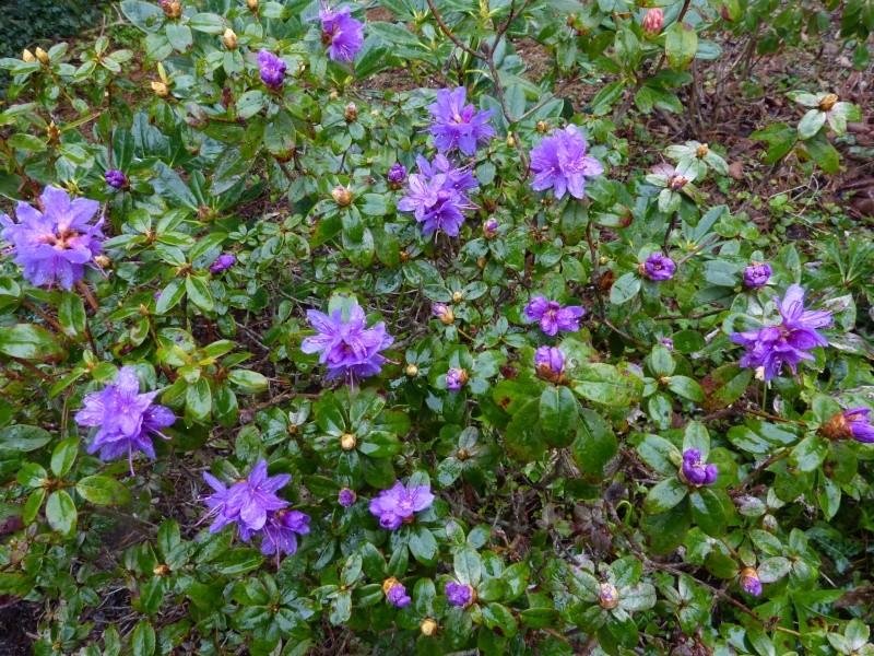 avril, jardin fébrile - Page 2 Rhodod16