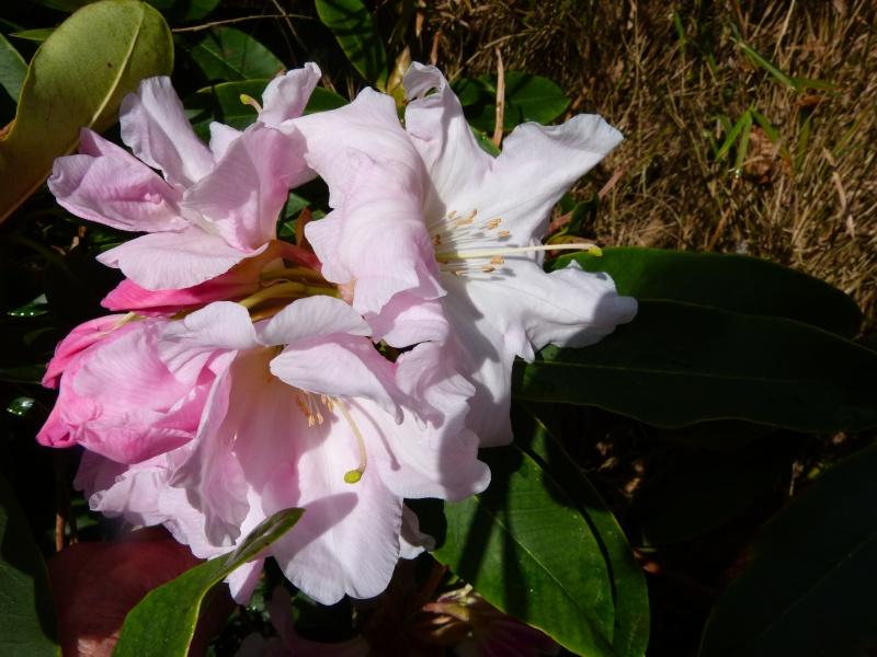 avril, jardin fébrile - Page 2 Rhodod19