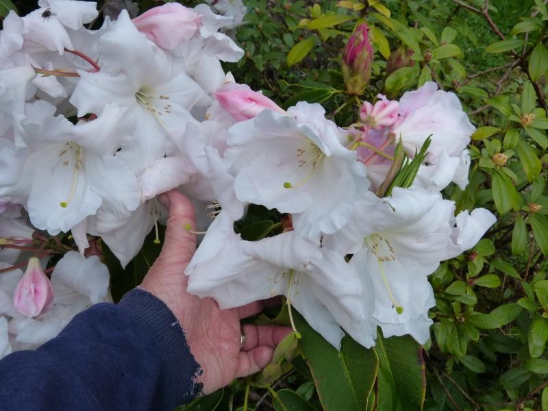 avril, jardin fébrile - Page 3 Rhodod21