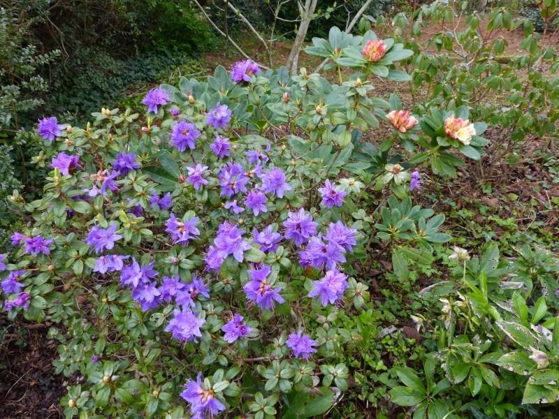 avril, jardin fébrile - Page 3 Rhodod22