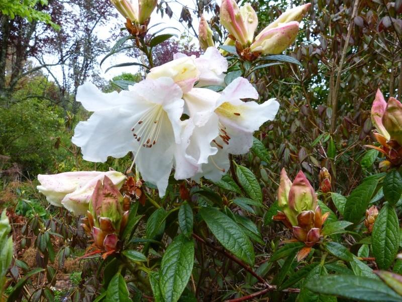 avril, jardin fébrile - Page 4 Rhodod28