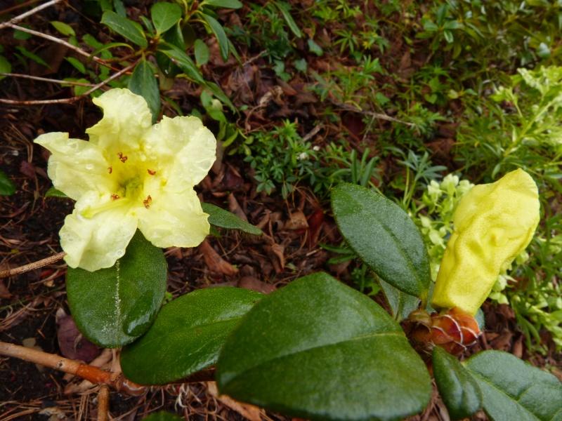 avril, jardin fébrile - Page 5 Rhodod29