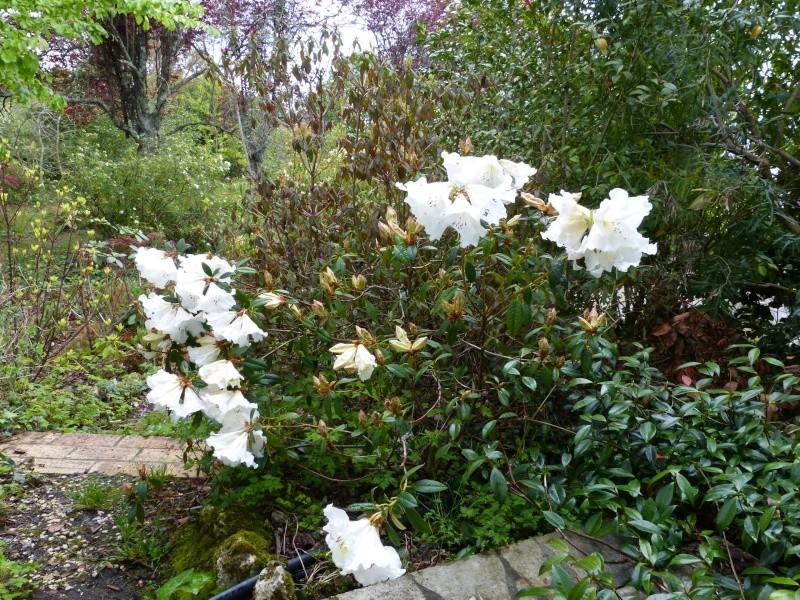 avril, jardin fébrile - Page 6 Rhodod35