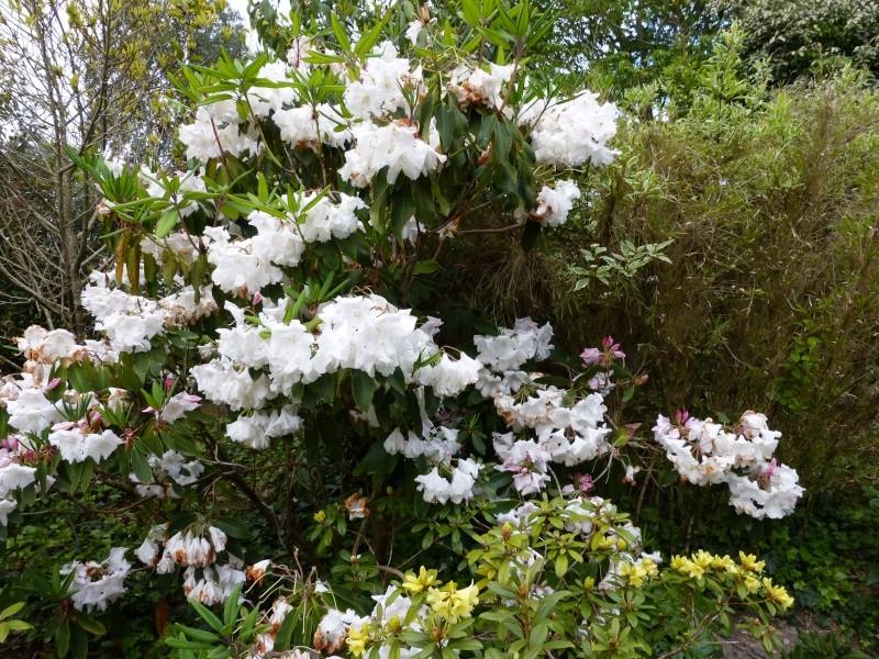avril, jardin fébrile - Page 6 Rhodod36