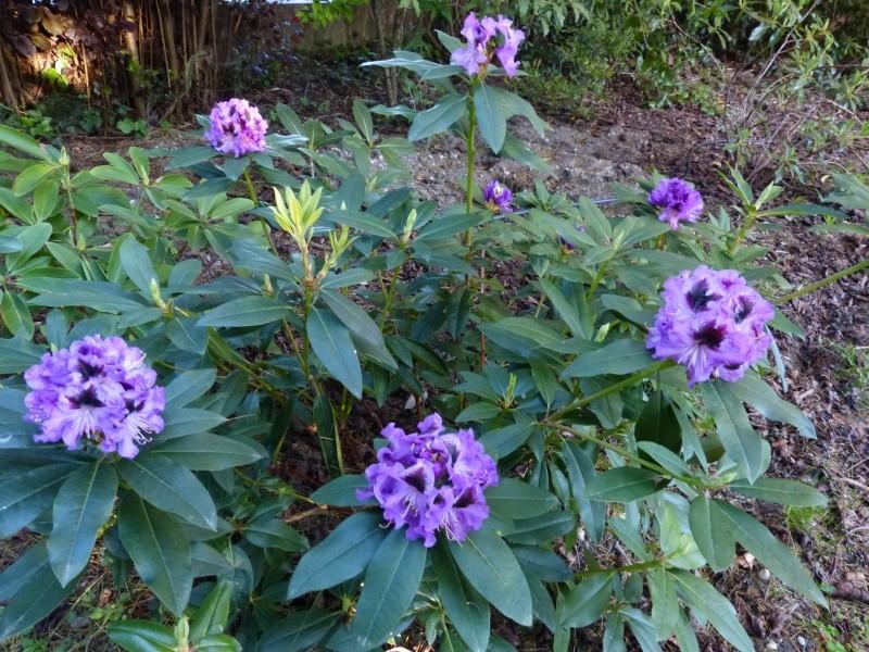 joli mois de mai, le jardin fait à son gré Rhodod40