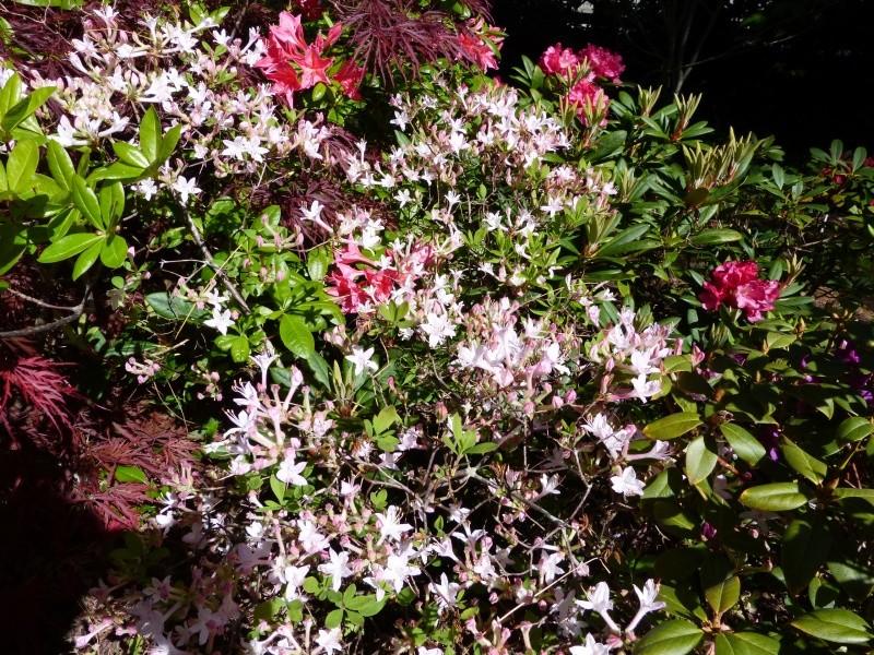 joli mois de mai, le jardin fait à son gré Rhodod42