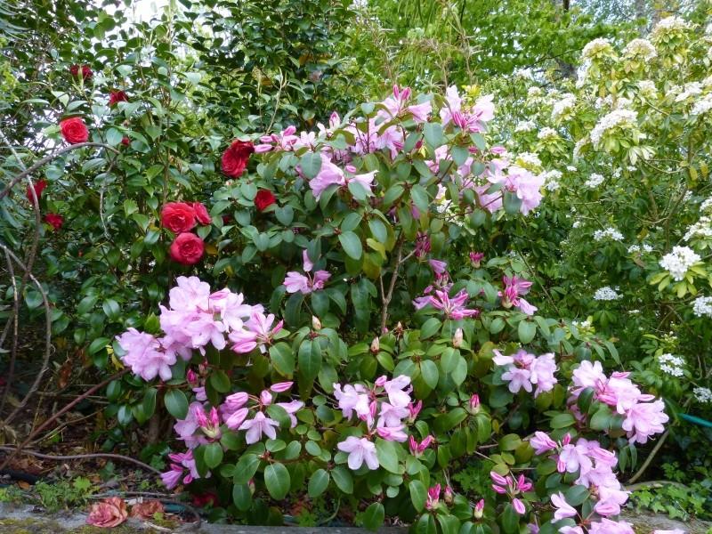 joli mois de mai, le jardin fait à son gré Rhodod43