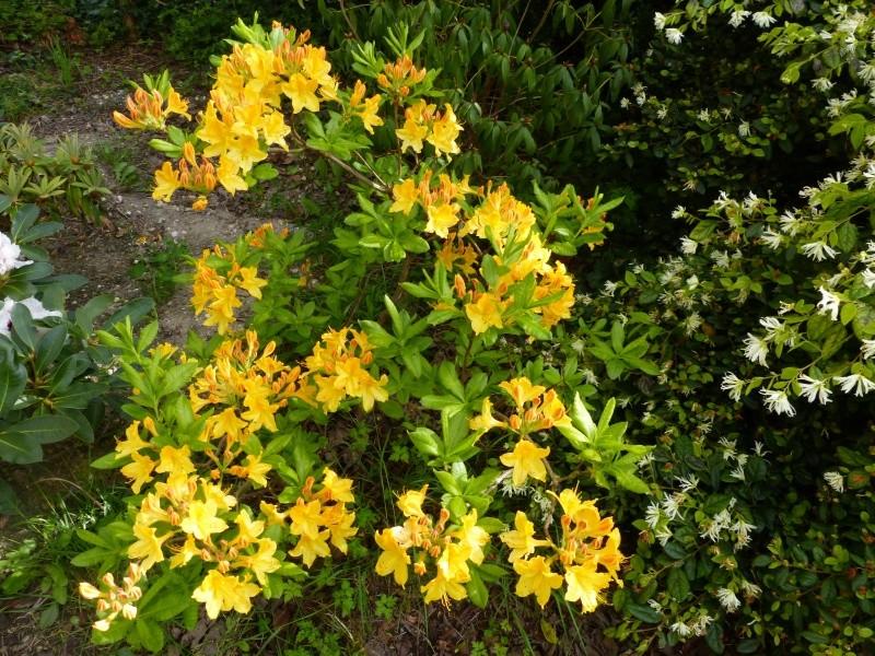 joli mois de mai, le jardin fait à son gré Rhodod44