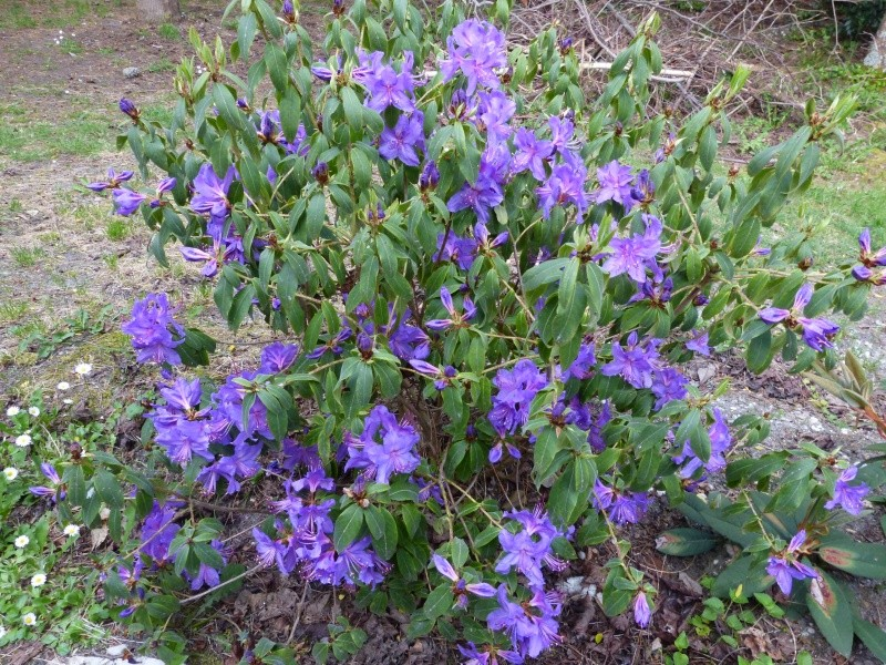 joli mois de mai, le jardin fait à son gré - Page 2 Rhodod45