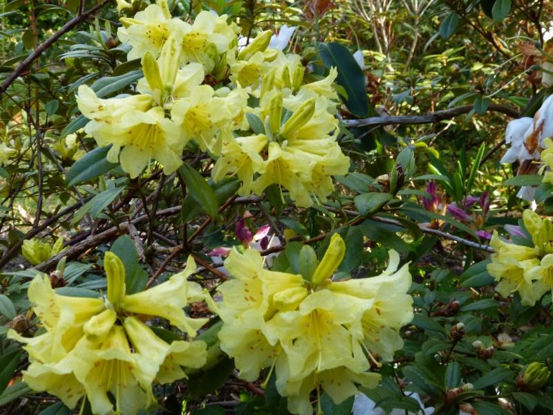 joli mois de mai, le jardin fait à son gré - Page 2 Rhodod46