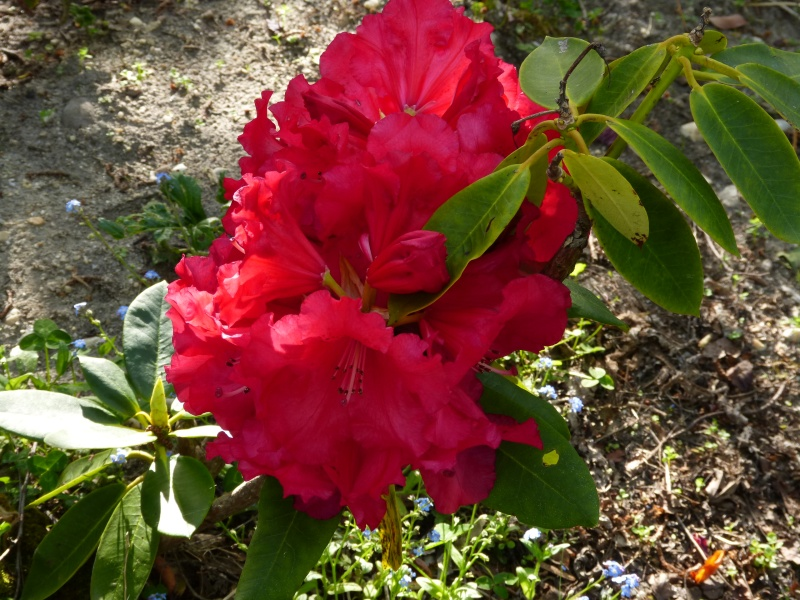 joli mois de mai, le jardin fait à son gré - Page 2 Rhodod47