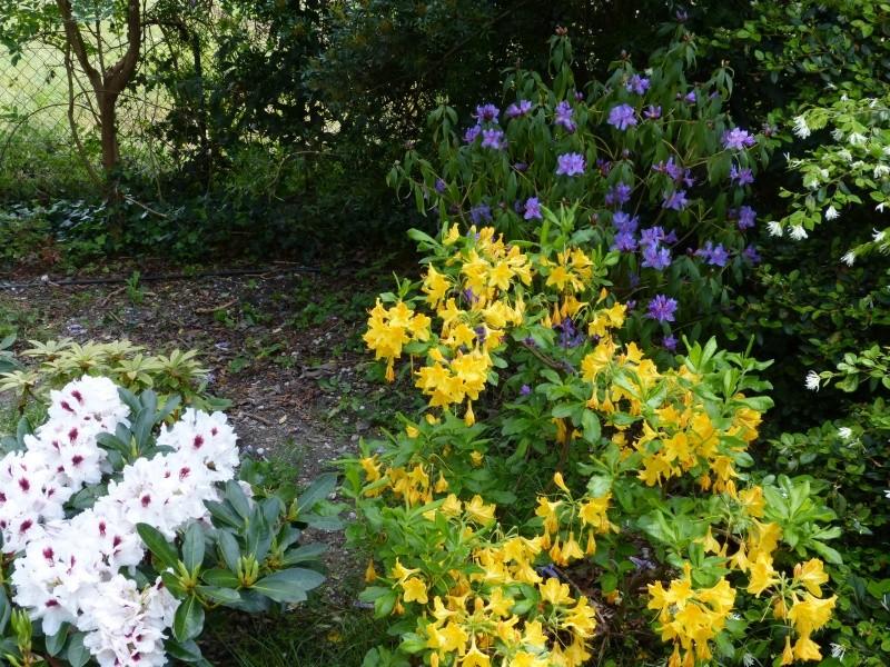 joli mois de mai, le jardin fait à son gré - Page 3 Rhodod55