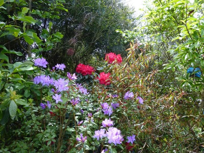 joli mois de mai, le jardin fait à son gré - Page 3 Rhodod56