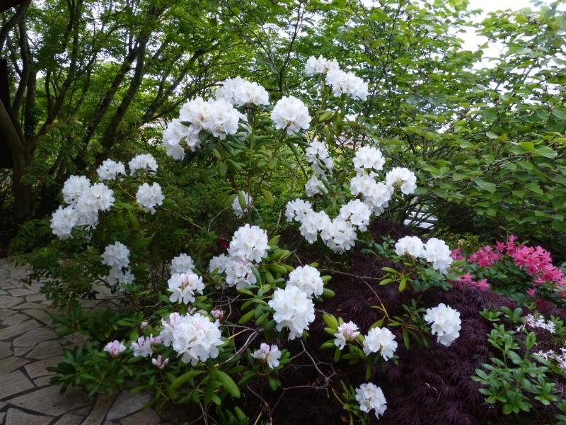 joli mois de mai, le jardin fait à son gré - Page 3 Rhodod57