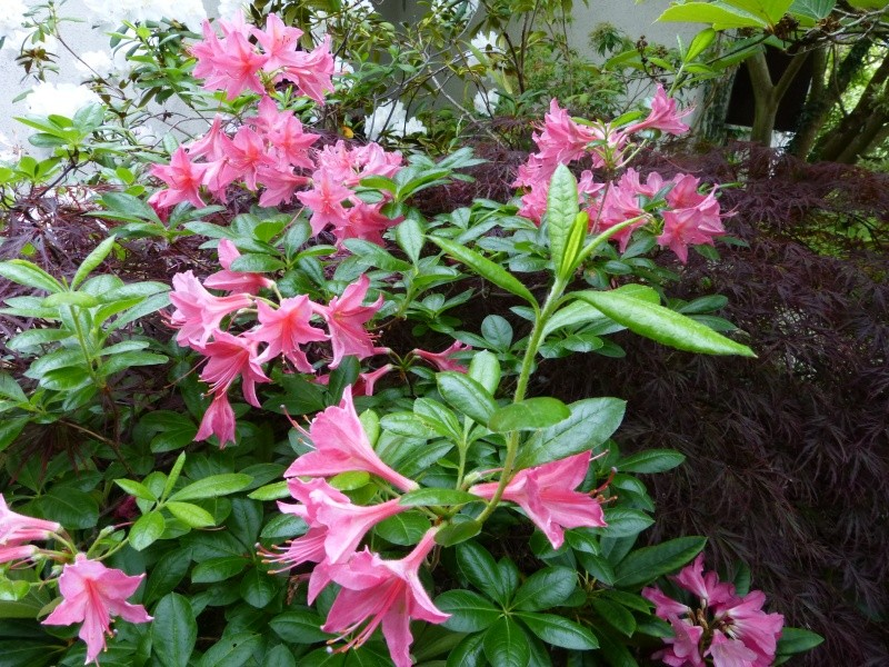 joli mois de mai, le jardin fait à son gré - Page 3 Rhodod62
