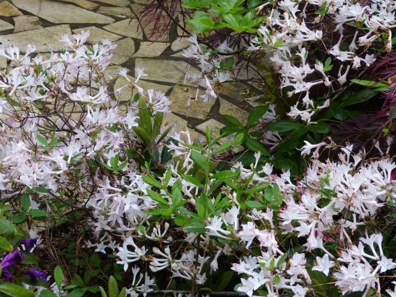joli mois de mai, le jardin fait à son gré - Page 3 Rhodod63