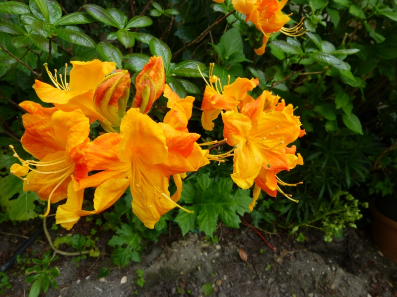 joli mois de mai, le jardin fait à son gré - Page 3 Rhodod64