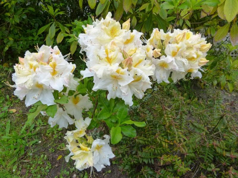 joli mois de mai, le jardin fait à son gré - Page 3 Rhodod67