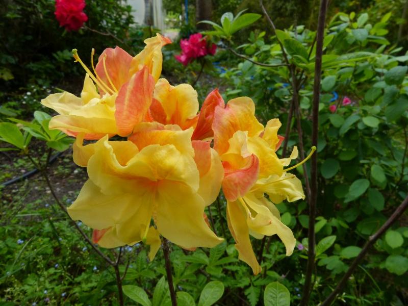 joli mois de mai, le jardin fait à son gré - Page 3 Rhodod68