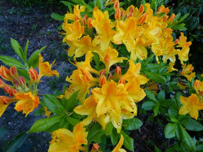 joli mois de mai, le jardin fait à son gré - Page 3 Rhodod69
