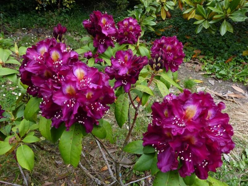 joli mois de mai, le jardin fait à son gré - Page 4 Rhodod76