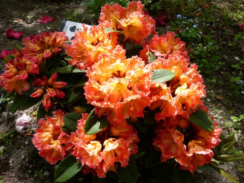 joli mois de mai, le jardin fait à son gré - Page 4 Rhodod79