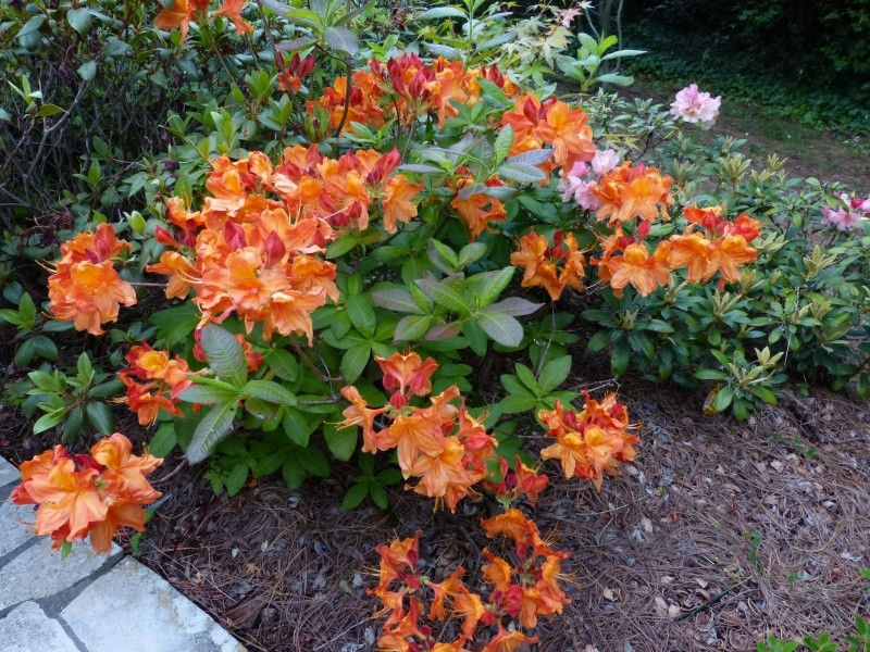 cadeaux du jardin, juin juin Rhodod87