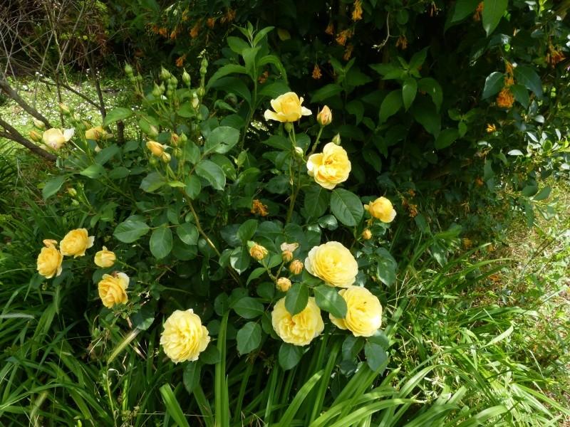 cadeaux du jardin, juin juin - Page 2 Rosa_g10