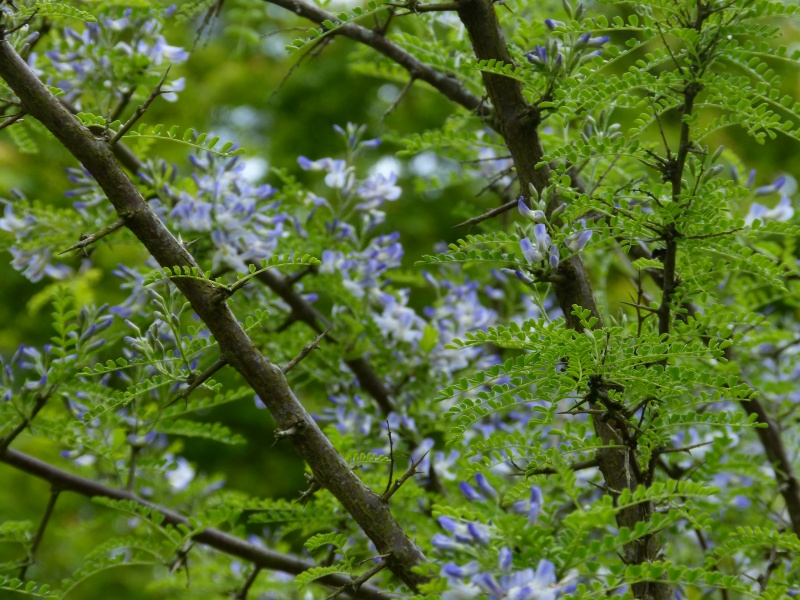 Sophora davidii (davidi) (= Sophora viciifolia) - sophora de David  - Page 2 Sophor13