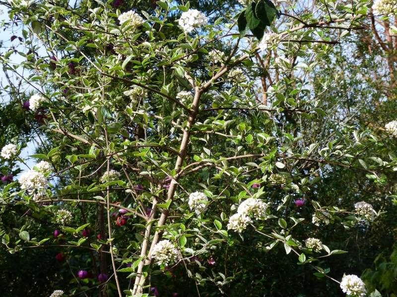 avril, jardin fébrile - Page 2 Viburn10