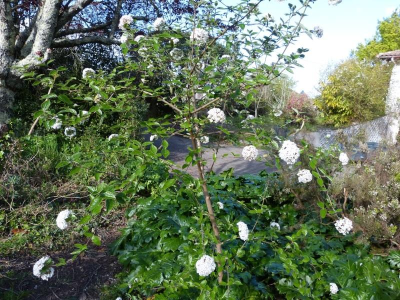 avril, jardin fébrile - Page 3 Viburn11