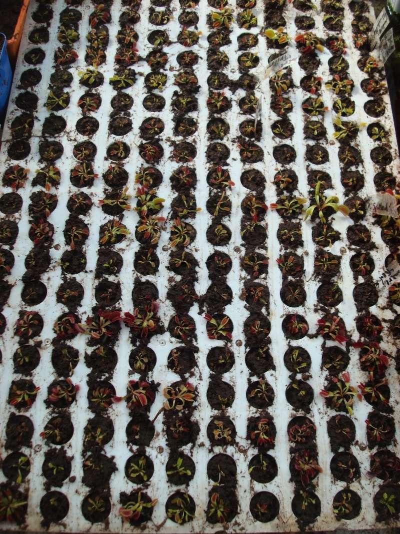 Suivi semis et germination Dionaea [Ted82] - Page 10 Dsc02131