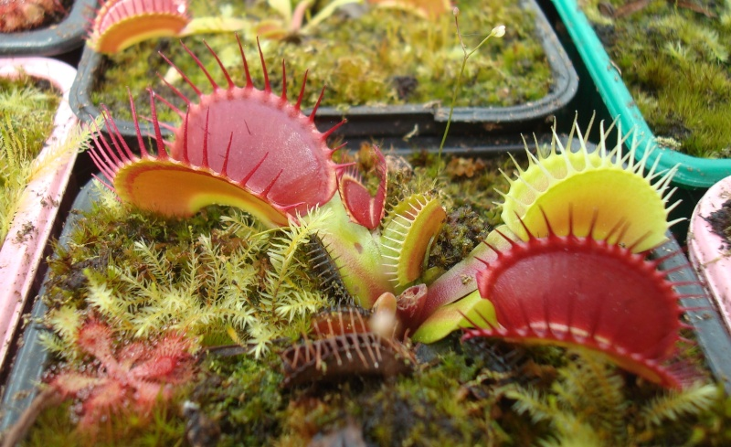 Suivi semis et germination Dionaea [Ted82] - Page 10 Dsc02410