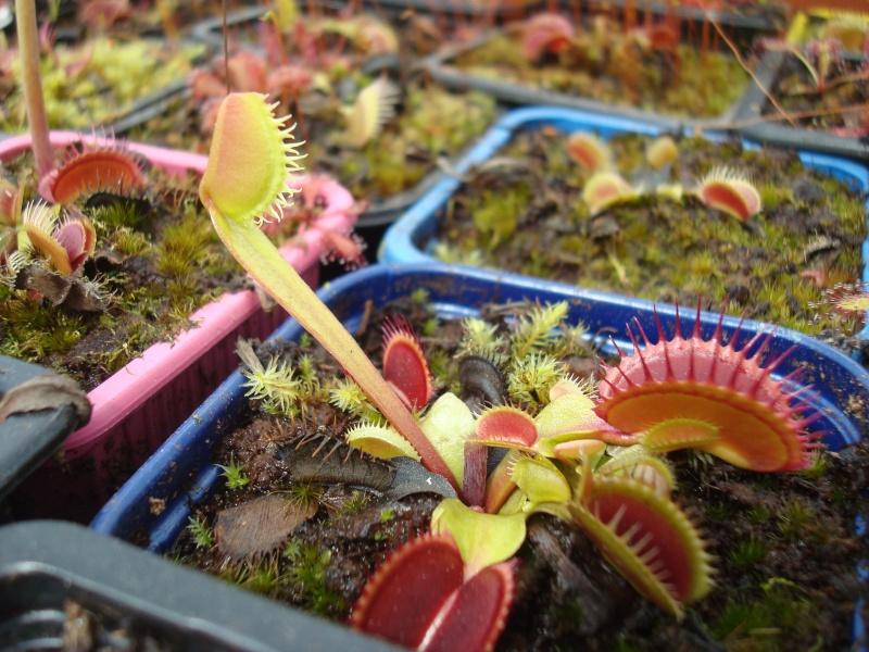 Suivi semis et germination Dionaea [Ted82] - Page 10 Dsc02413
