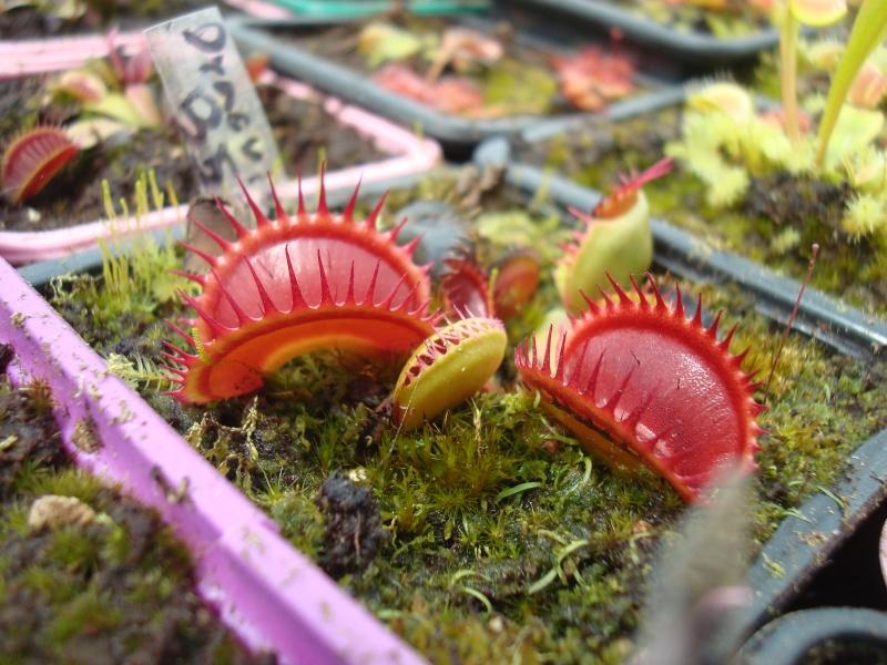 Suivi semis et germination Dionaea [Ted82] - Page 10 Dsc02414