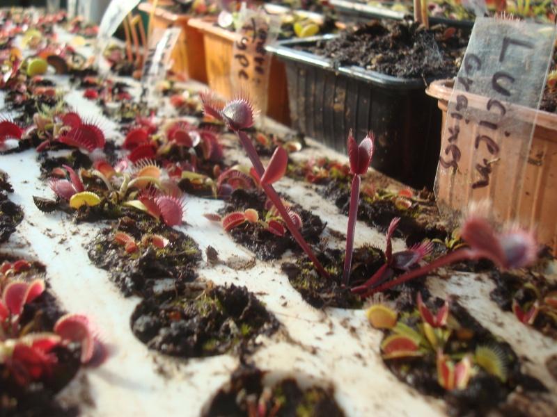 Suivi semis et germination Dionaea [Ted82] - Page 10 Dsc03011