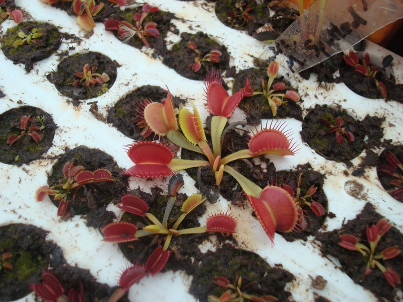 Suivi semis et germination Dionaea [Ted82] - Page 10 Dsc03112