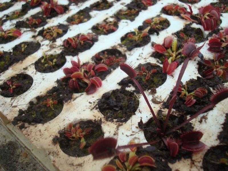 Suivi semis et germination Dionaea [Ted82] - Page 10 Dsc03114