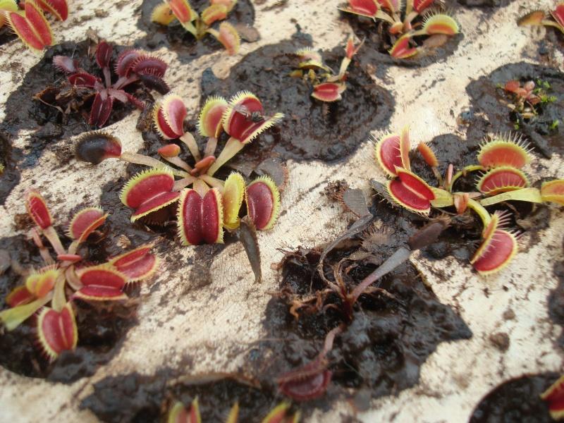Suivi semis et germination Dionaea [Ted82] - Page 10 Dsc03118