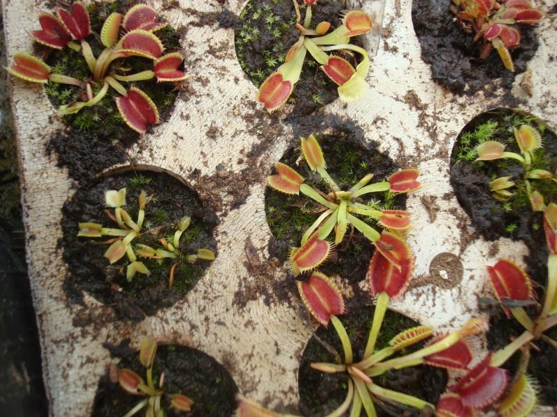 Suivi semis et germination Dionaea [Ted82] - Page 10 Dsc03120