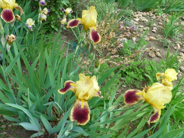 Floraisons 2016 de nos grands iris barbus et Bilan - Page 5 A19_210